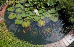 Botanikės patarimai, kaip gegužės mėnesį apželdinti tvenkinį