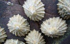 Dėl žmonijos veiklos moliuskai nebepajėgia užsiauginti tvirtų kriauklių