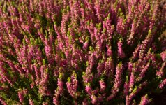 Šilinis viržis 'Colette' žydi sodriai rožiniais pilnaviduriais žiedais.