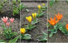 Dar vienas šilumos pranašas - Burbiškio dvare pražydo tulpės