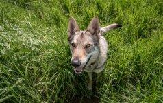 Šuns gestas, kurio reikšmę verta žinoti