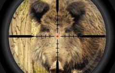 Galas šernams ar nusistovėjusiai medžioklės tvarkai?