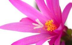 Kaip teisingai laistyti kambarinius augalus
