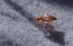 Košmaras jūsų lovoje – patalinės blakės