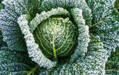 Kaip apsaugoti augalus nuo sugrįžusių šalnų? (2 dalis)