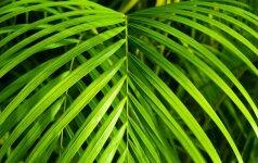 Gidas, kaip namuose prižiūrėti palmę