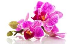 KONKURSAS: mano mylimiausia orchidėja