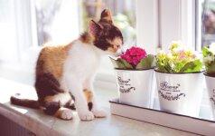 Namuose laikomos gėlės, kurios nuodija jūsų katę