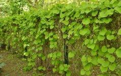 Kartuolė – labai tinkamas vijoklinis augalas gyvatvorei, ypač augančiai pavėsyje, nes ji puošni, be to būna tanki net žiemą, kai numeta lapus.