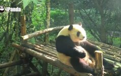 Panda tuščiai laiko nešvaisto - daro atsilenkimus