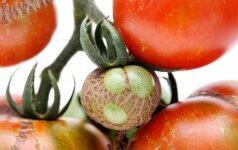 Pomidorų ligos, kenkėjai ir kiti auginimo nesklandumai