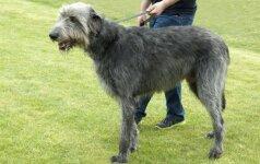 Šuo, kurio ūgis gali siekti per 2 metrus
