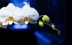 Kaip prižiūrėti orchidėjas spalio mėnesį