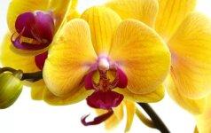 Populiarios orchidėjos, kurias paprasta auginti 1 dalis