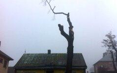 Nuomonė. Ar miestuose apskritai reikalingi medžiai?