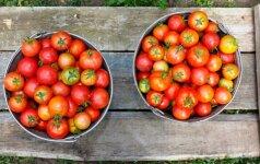 Pomidorų mylėtojos patarimai, kaip nepasiklysti renkantis pomidorų hibridus ir veisles