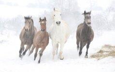 Kodėl būtina paženklinti arklius?