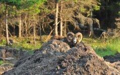 Draustiniui saugoti pirks kalnų avinus