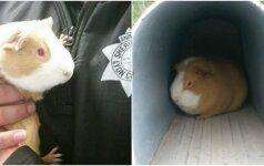 Pašto dėžutėje rado išsigandusią jūrų kiaulytę: šiandien jai nėra ko bijoti