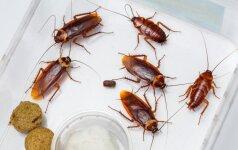 Kaip po atostogų išvyti neprašytus namų gyventojus – tarakonus