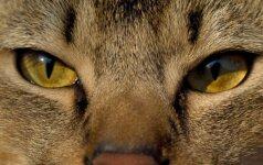 Susipažinkite – naminės katės lūšies kailyje