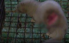 Prie Seimo protestavo kailinių žvėrelių gynėjai: atsinešė negyvas audines