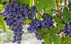 Kaip prižiūrėti vynuoges nuo pavasario iki rudens