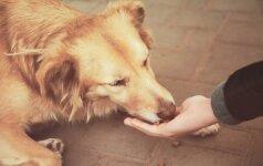 Jaudinantis vaizdas: alkanas šuo sušelptą maistą neša šunyčiams
