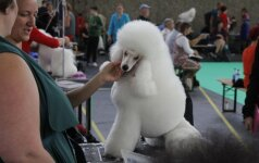 Į Amsterdamą susirinko gražiausi pasaulio šunys