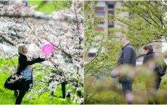 Pavasario pokštai šiemet iš vilniečių atėmė sakurų žydėjimą: viltį prarado ne visi