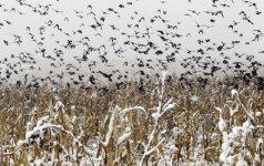 Kaip paukščiai žino, kad Lietuvoje vis dar šalta?