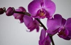 Naudinga informacija apie orchidėjas