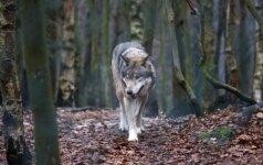 Vilkams atėjo ramios dienos: baigėsi medžioklės sezonas