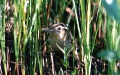 Dėl mažučio Lietuvos paukštelio jaudinasi ir užsienio gamtosaugininkai