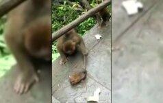 Beždžionės žaidė su kukurūzų ieškojusia pele