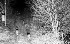 Pasieniečių kameros Švenčionių rajone užfiksavo gaują vilkų