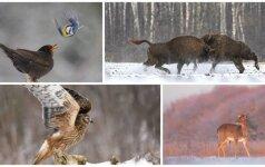 Žvilgsnis į žiemišką gamtą: tobuli gyvūnų portretai