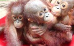 Orangutanų jaunikliai mokosi gyventi laukinėje gamtoje