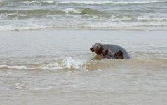 Išgelbėti ruoniukai paleisti į jūrą: sustiprėję ir paaugę sugrąžinti į namus