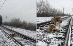 Širdį virpinanti istorija: šuo išgelbėja savo draugą nuo traukinio