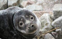 Baltijos jūra gegužę išmetė net 25 negyvus ruonius