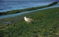 Vandens žydėjimas Baltijos jūroje - problema, kurios neišspręsime niekada