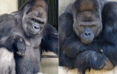 Neįtikėtinai fotogeniška gorila: internautai šį patiną vadina širdžių daužytoju