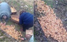 Stebėtinas žiaurumas: tūkstančius ką tik gimusių viščiukų paliko nugaišti