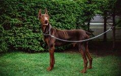 Kūdikį sudraskiusio Ramzio istorija griebia už širdies: pasveikęs šuo niekaip neranda šeimininkų