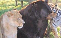 Neįtikėtina draugystė: tigras, lokys ir liūtas – neišskiriami