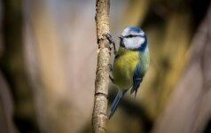 Į Lietuvą parlėkė daugiau kaip 40 rūšių paukščių, sodybų šeimininkams – prašymas