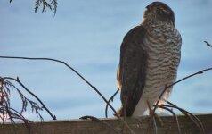 Ar pažįstate žiemojančius paukščius?