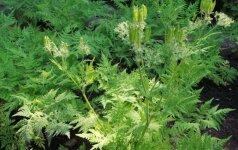 Kokius augalus auginti, kad namai pakviptų anyžiais?