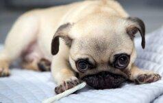 Nuo šios ligos kenčia kas penktas šuo: skausmą numalšina paprasti pratimai